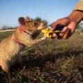 жаренные крысы в кхмерской кухне